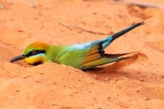 Rainbow Bee-eater (Image ID 36314)