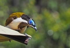 Blue-faced Honeyeater (Image ID 36209)