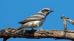Black-faced Cuckoo-shrike (Image ID 36335)