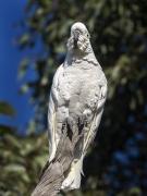 Sulphur-crested Cockatoo (Image ID 36340)