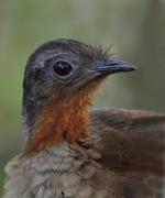 Albert's Lyrebird (Image ID 36305)