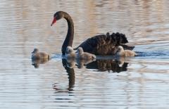 Black Swan (Image ID 36341)