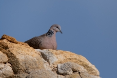 Spotted Dove (Image ID 36270)