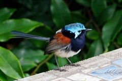 Red-winged Fairy-wren (Image ID 36526)