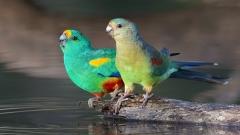 Mulga Parrot (Image ID 36593)