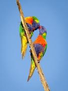 Rainbow Lorikeet (Image ID 36629)
