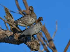 Australian Wood Duck (Image ID 36663)