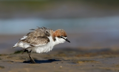 Red-capped Plover (Image ID 36605)