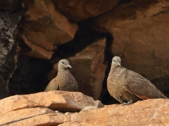 Chestnut-quilled Rock-Pigeon (Image ID 36573)
