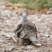 Crested Pigeon (Image ID 36521)
