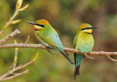 Rainbow Bee-eater (Image ID 36657)