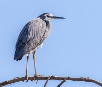 White-faced Heron (Image ID 36568)