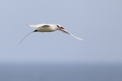 Red-tailed Tropicbird (Image ID 36522)