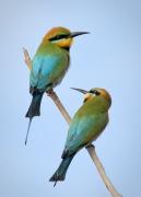 Rainbow Bee-eater (Image ID 36748)