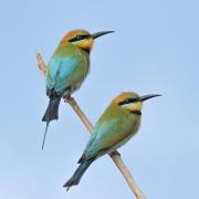 Rainbow Bee-eater (Image ID 36837)