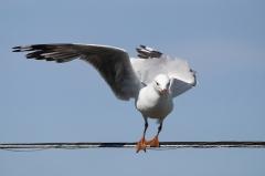 Silver Gull (Image ID 37021)