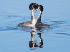 Great Crested Grebe (Image ID 36901)