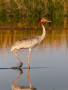 Sarus Crane (Image ID 36946)
