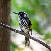 New Holland Honeyeater (Image ID 36879)