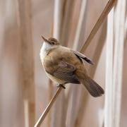 Australian Reed-Warbler (Image ID 36860)