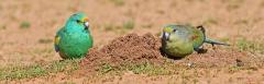 Mulga Parrot (Image ID 36675)