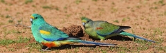 Mulga Parrot (Image ID 36674)