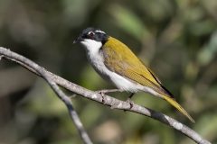 White-throated Honeyeater (Image ID 36965)