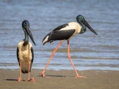 Black-necked Stork (Image ID 36769)
