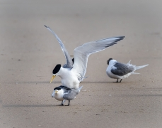 Crested Tern (Image ID 36695)