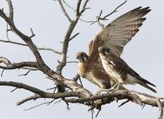 Brown Falcon (Image ID 36698)