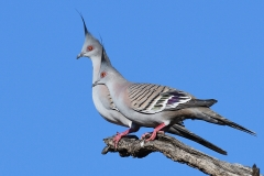 Crested Pigeon (Image ID 36676)