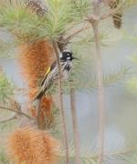 New Holland Honeyeater (Image ID 36985)