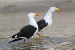 Pacific Gull (Image ID 36728)