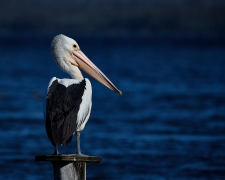 Australian Pelican (Image ID 37377)