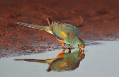 Mulga Parrot (Image ID 37207)