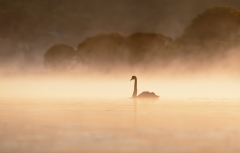Black Swan (Image ID 37222)
