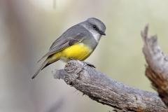 Western Yellow Robin (Image ID 37394)