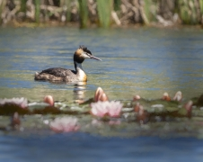 Great Crested Grebe (Image ID 37205)