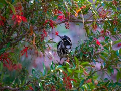 New Holland Honeyeater (Image ID 37038)