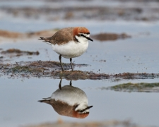 Red-capped Plover (Image ID 37183)