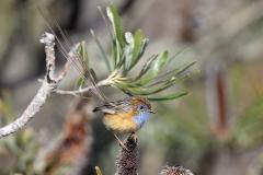 Southern Emu-wren (Image ID 37425)