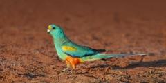 Mulga Parrot (Image ID 37245)