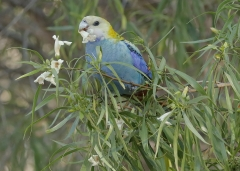 Pale-headed Rosella (Image ID 37184)