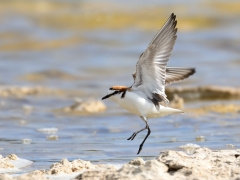 Red-capped Plover (Image ID 37173)
