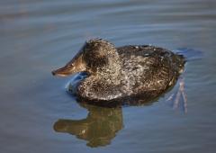 Blue-billed Duck (Image ID 37379)