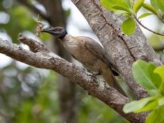 Noisy Friarbird (Image ID 37051)