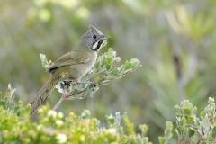 Western Whipbird (Image ID 37563)