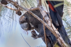 Glossy Black-Cockatoo (Image ID 37558)
