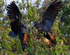 Red-tailed Black-Cockatoo (Image ID 37550)