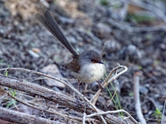 Red-winged Fairy-wren (Image ID 37747)